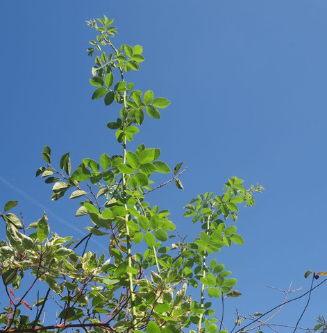 rose2 - (Biologie, Garten, Pflanzen)