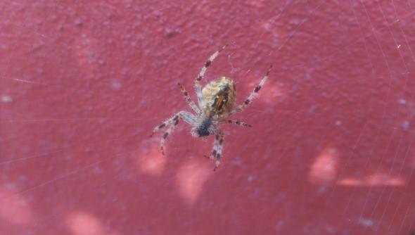 Spinne - (Spinne)