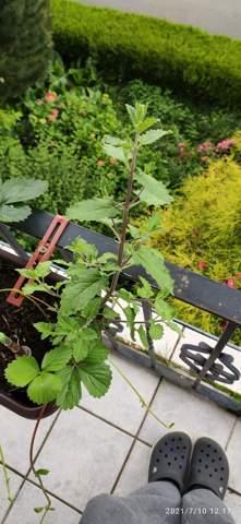 Weiß jemand wie die Pflanze heißt die aussieht wie eine brenessel nur mit einem Braunen Stiehl?