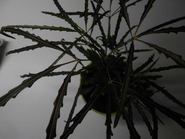 wei jemand wie diese palmen hnliche zimmerpflanze hei t pflanzen zimmerpflanzen. Black Bedroom Furniture Sets. Home Design Ideas