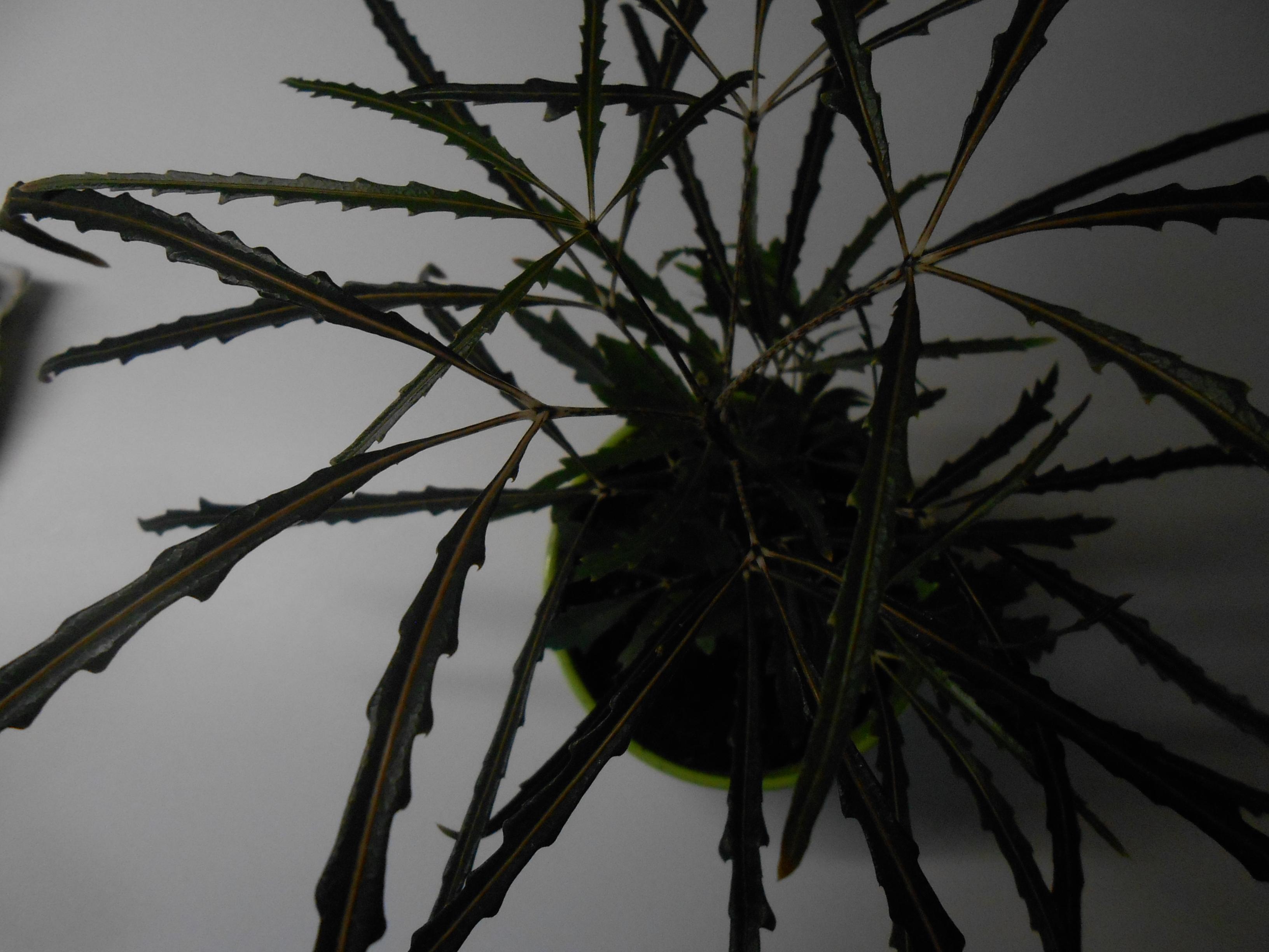 wei jemand wie diese palmen hnliche zimmerpflanze hei t. Black Bedroom Furniture Sets. Home Design Ideas