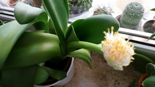 wei jemand wie diese pflanze hei t ist ein dickblattgew chs pflanzen. Black Bedroom Furniture Sets. Home Design Ideas