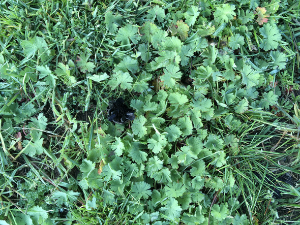 Weiß jemand wie dieses Unkraut in meinem Rasen heißt?