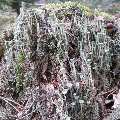 Hier besagte Flechte - (Natur, Wald, Pilze)