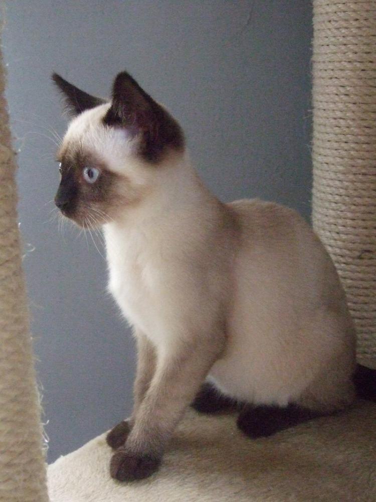 wei jmd wie diese katzenrasse auf dem foto hei t tiere katzen katzenzucht. Black Bedroom Furniture Sets. Home Design Ideas