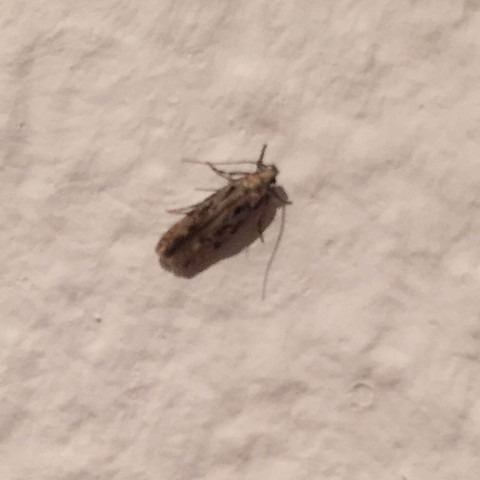 Schädling/Insekt  - (Insekten, Schädlinge, Motten)