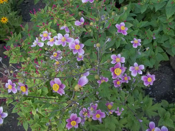 Unbekannte Blume - (Garten, Blumen)