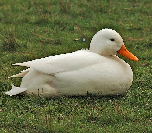 Hier das Bild der weissen Ente deren name ich nicht weiss - (Ente, Schneeweiß)