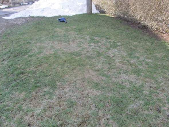 Weiße Flecken auf Rasen?