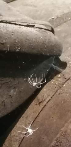 Weiße gruselige spinne?