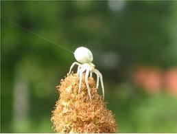 So sieht sie aus - (weiss, Spinne, giftig)
