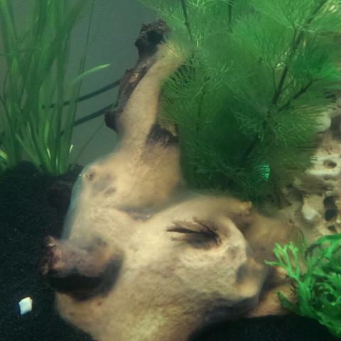 wei er schleier im aquarium auf den pflanzen so wie auf der wurzel was tun fische pilze. Black Bedroom Furniture Sets. Home Design Ideas