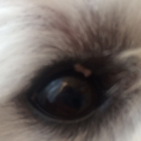 Weißes am Auge , Tumor?  - (Hund, Augen, Tumor)