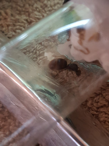 2ksks - (Insekten, Ameisen, königin)