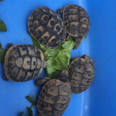 schildk woxi - (Tiere, Natur, Schildkröten)