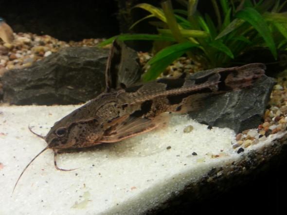 Welche Art? - (Fische, Aquarium, Aquaristik)
