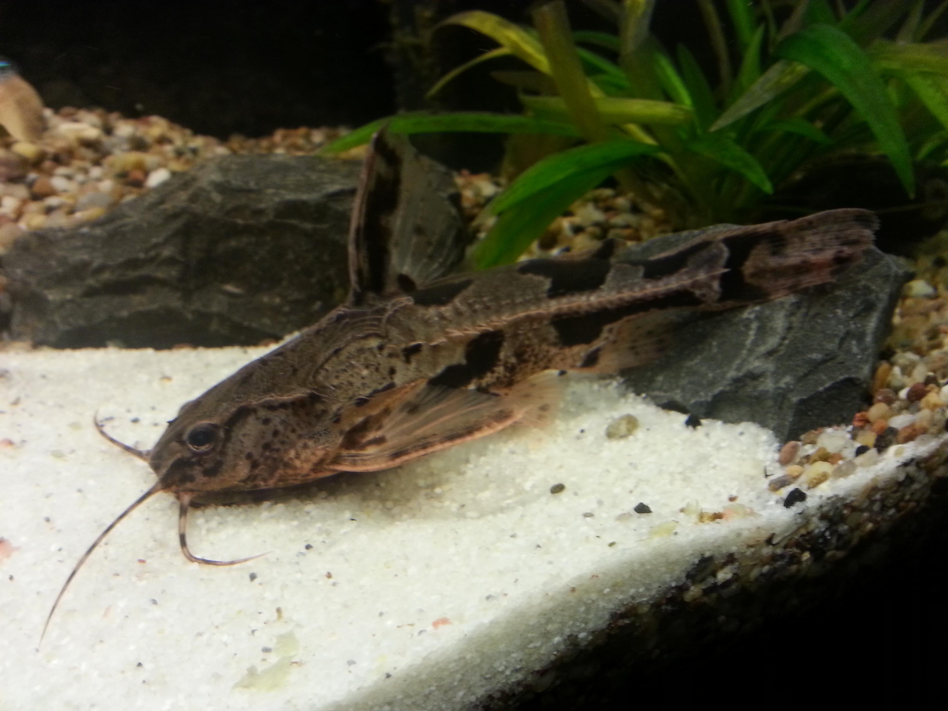 Welche art von wels ist das fische aquarium aquaristik for Aquarium fische arten