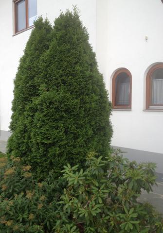 Wunderschöne Thuja - (Garten, Baum, Art)