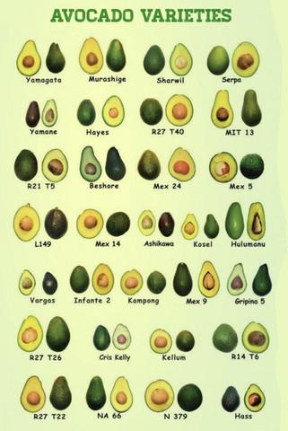 Welche Avocado sorte kann am besten im winter überlebe?