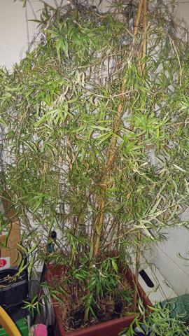 Welche Bambus Art Ist Das Hier Zimmer Und Innen Pflanze