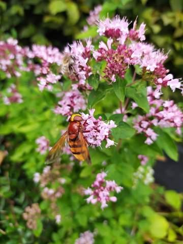 Welche Bienen/Hornissen Art ist das?