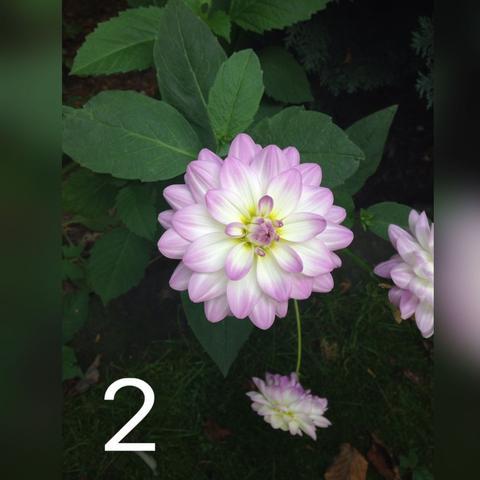 Die zweite  - (Blumen, schön)