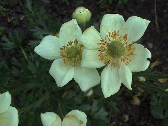 unbekannte Staude 1 - (Pflanzen, Garten, Blumen)
