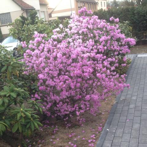 Nr 1 rosa - (Biologie, Garten, Pflanzen)