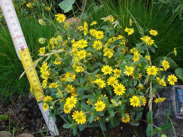 welche ca 20 cm gro e gelbe pflanze ist das pflanzen blumen gelb. Black Bedroom Furniture Sets. Home Design Ideas