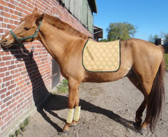 zitrone - (Pferde, Farbe, Decke)