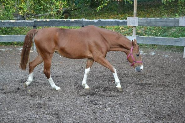 Supreme mit pinkem Halfter  - (Pferde, Farbe, Schabracke)