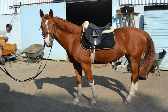 Supreme - (Pferde, Farbe, Schabracke)