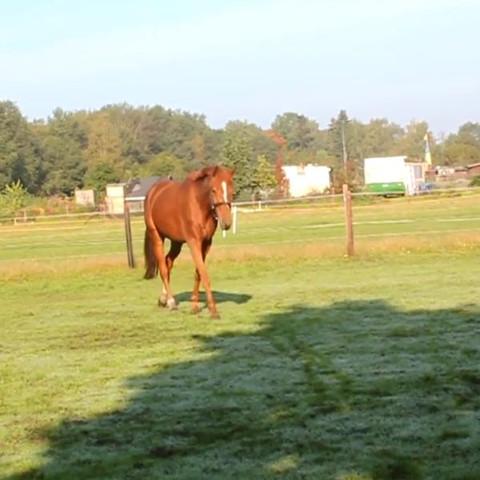Er liebt seine Weide, aber Nachts muss er leider in der Box sein:( :) - (Tiere, Pferde, Fellfarbe)