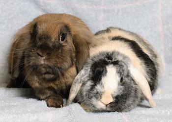 Männchen - (Kaninchen, Fellfarbe)