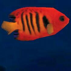 Roter fisch - (Fische, Aquarium, Hintergrund)