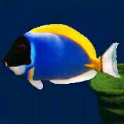 Blauer fisch - (Fische, Aquarium, Hintergrund)