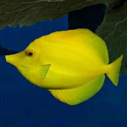 Gelber fisch - (Fische, Aquarium, Hintergrund)