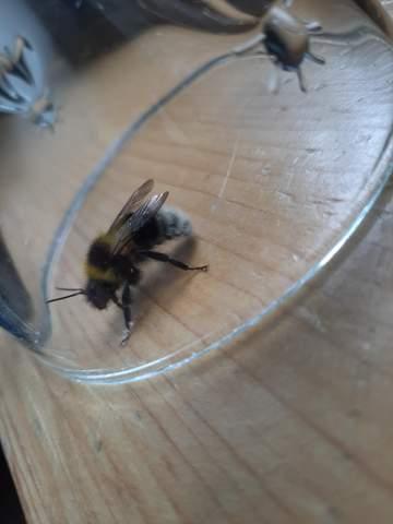 Welche Gattung von Biene/Hummel ist das?