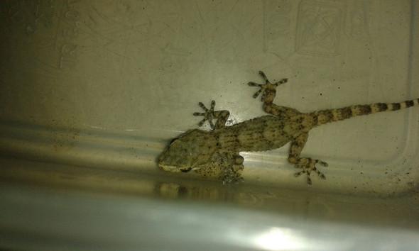 Gecko - (Gecko, Geckoart)