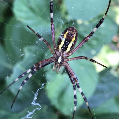 Hier die Spinne in Nahaufnahme. - (Tiere, Biologie, Natur)