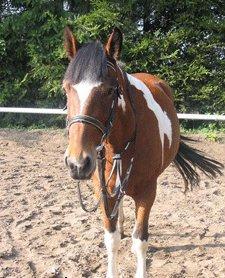 Paul - (reiten, Größe, Pony)