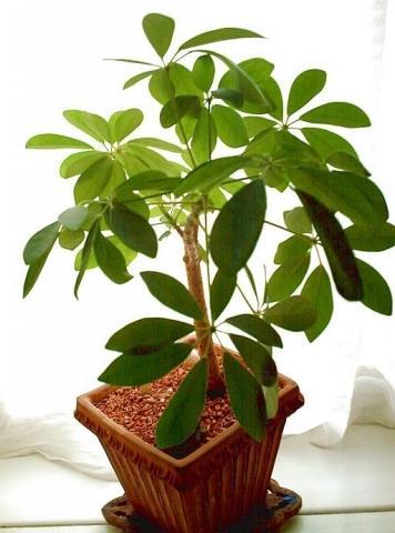 Mehrblaettrige Gruenpflanze - (Garten, Pflanzen, Grünpflanzen)