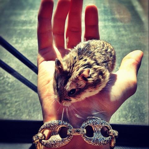der hamster - (Tiere, Hamster)
