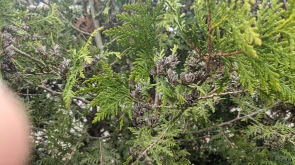 Welche Heckenpflanze ist das?