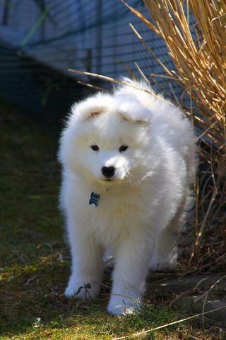 Yuki - (Hund, Hunderasse)