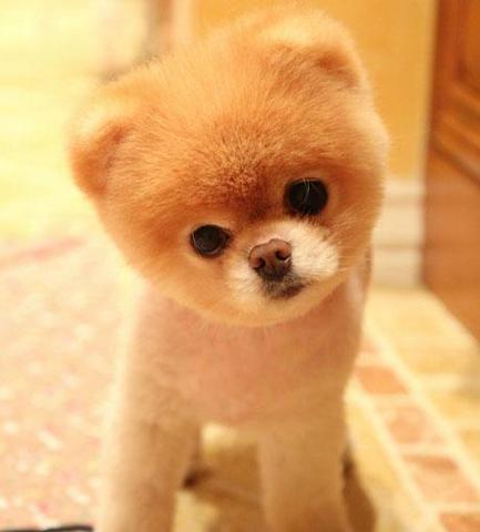 Pomeranian Teddy Bear Dog For Sale