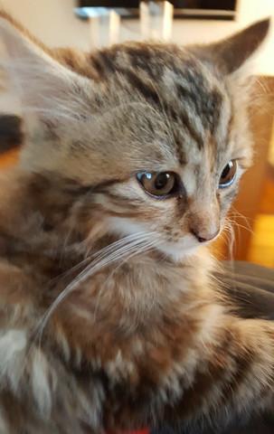 Katzenrasse gesucht! - (Katze, Katzen, Katzenrasse)