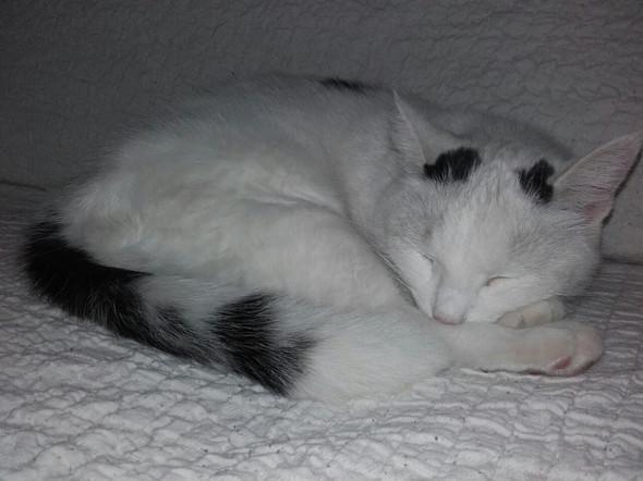 Kokie schläft - (Katze, Katzenrasse)