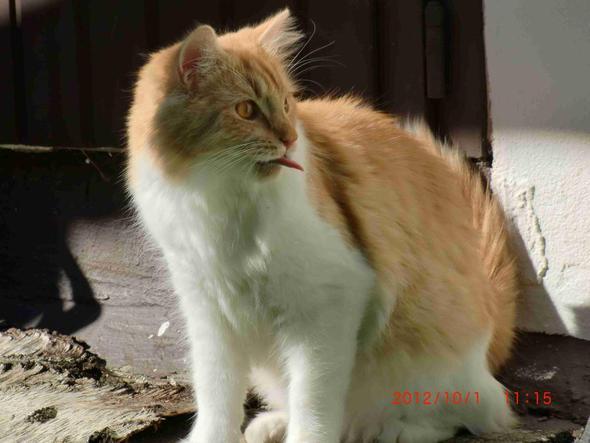 Vorderansicht - (Katzen, Katzenrasse)