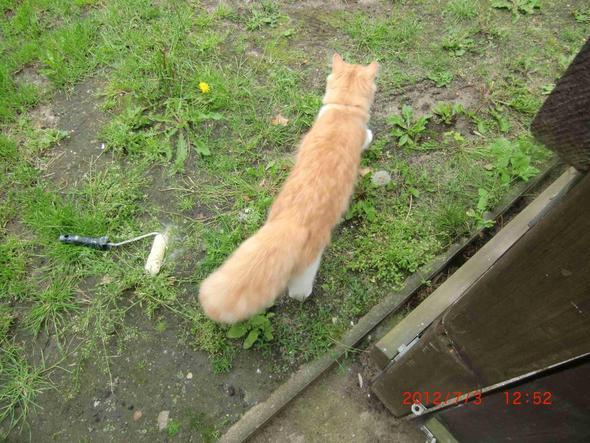 Obenansicht - (Katzen, Katzenrasse)